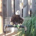 Wazoo the Bald Eagle