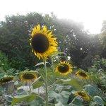 Stately Sunflowers