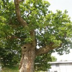 Fantastic old tree at Hele Barton