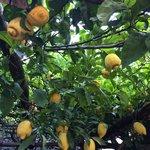Lemon in garden