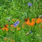 Monarch butterfly milkweed..