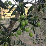 Olive trees at the abbey