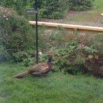 Our friendly local Pheasant enjoying the feeders