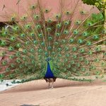 one of the peacocks