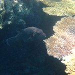 Rare Puffer fish