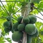 papayas at farm we visited