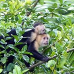 Capuchin Monkeys were visiting us in the morning