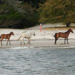 Wild horses on Cumberland island. Awesome!