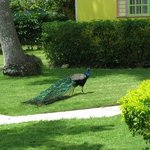 peacock on the grounds