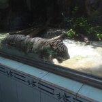 skinny white tiger