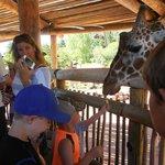 Feeding the giraffes lettuce leaves