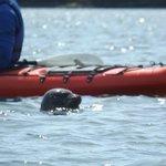 Seal at the kayak