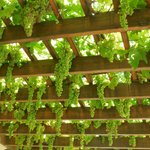 Grapes growing on the porch roof