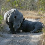 A baby white rhino gets a feed!