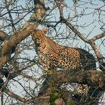 A leopard views lions at a kill