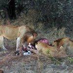 Lions at a zebra-kill