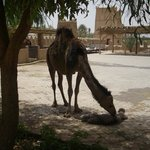 Mother camel & newborn calf