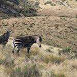 The rare Mountain Zebra