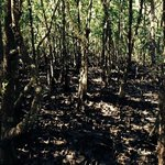 all about mangroves