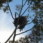 An abandoned orang utan's nest..