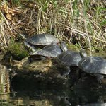 Family of turtles near pond
