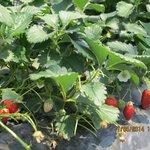 Savor Strawberry Farm