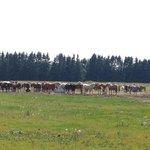 Estonian horses <3
