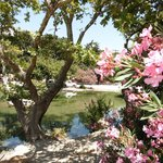 Oleander by the lake