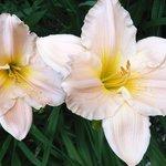 Lilies @ Langdon Hall (summer)