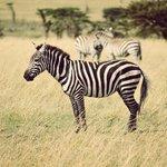 Zebra and wildebeest galore.