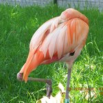 Лиссабонская фламинго