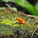 оранжевая лягушка