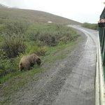 Park Road Bus Tour - Grizzly 2
