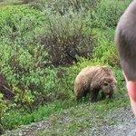 Park Road Bus Tour - Grizzly 1