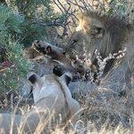 Bei den Löwen herrscht strikte Hierarchie: Papa isst zuerst, sonst gibt es eins auf die Mütze!