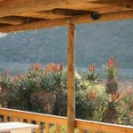 Melting ice dripping from restuarant roof onto the aloes