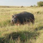 Hippo not looking Happy