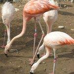 Flamingos flamant rose