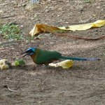 Motmot eating fruit behind the beach