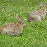 "The two resident ""wild"" rabbits"