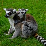 lemur with young