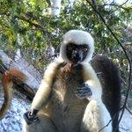 lemure bianco