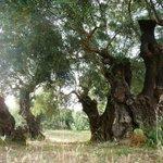 Veteran Olive Trees