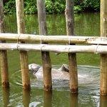 Após a soltura, alguns permanecem no rio Tatuamunha
