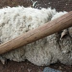 Bobby the resident sheep was rescued by the owner and appears to be very looked after!