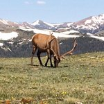 elk at 12000 ft.