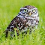 Small Owl, long grass