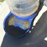 Mosquito, larvae, algae-Infested DOG water bowl Staff ORDERED my dog drink from! 7/2014:(