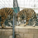 """Twin tigers"", taken October of 2000."
