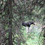 Our moose friend